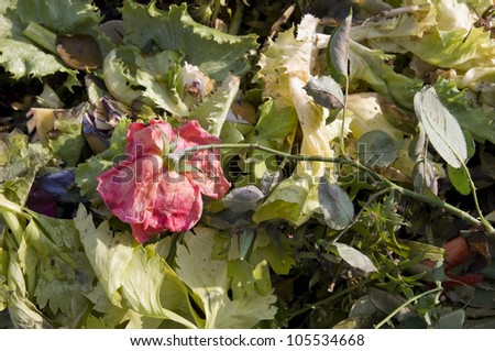 Close up of a wilting rose on a compost heap - stock photo
