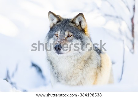 Close-up of a wolf standing in the snow - stock photo