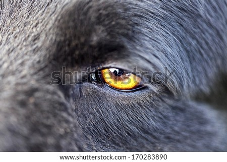 Scary wolf stock photos images pictures shutterstock - Scary yellow eyes ...