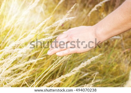 Close up of a woman's hand touching the yellow ears of corn grass