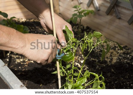 Close up of a woman working in the garden and plants vegetables in glasshouse. - stock photo