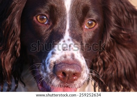 Close up of a working type english springer spaniel pet gundog - stock photo