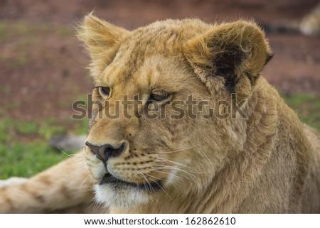 Close up of a Yawning Lion Cub - stock photo