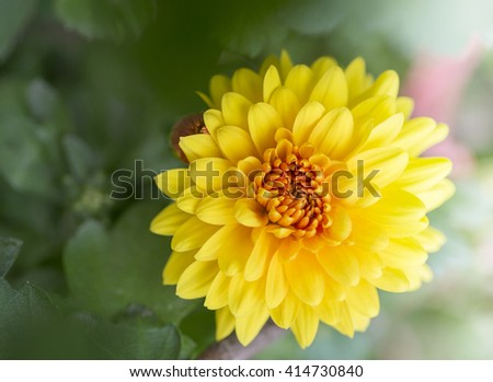 Close up of a yellow dahlia flower - stock photo