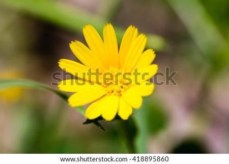 Close up of a yellow daisy - stock photo