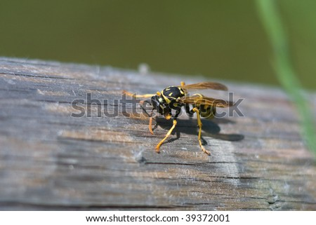 Close-up of a Yellow Jacket Wasp on wood - stock photo