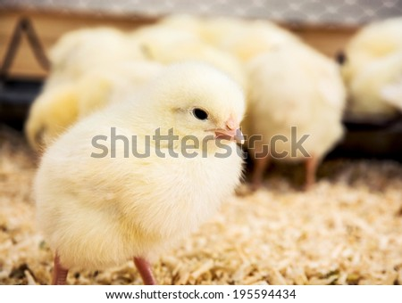 Close up of a yellow little chick.
