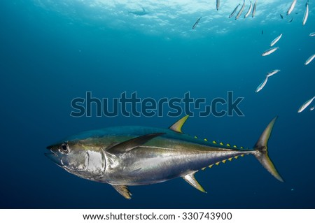Close Up of a Yellowfin Tuna Underwater