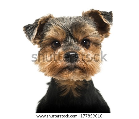 Close-up of a Yorkshire Terrier looking severly at the camera, 6 years old, isolated on white - stock photo