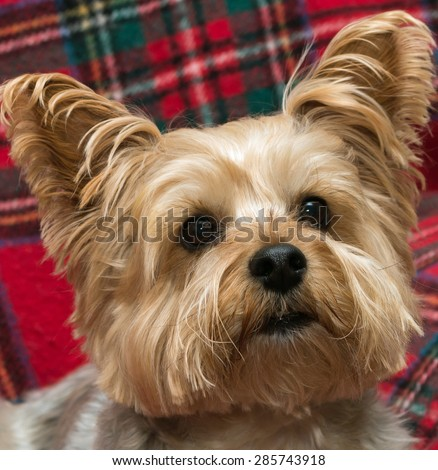 Close up of a Yorkshire Terrier's head looking up