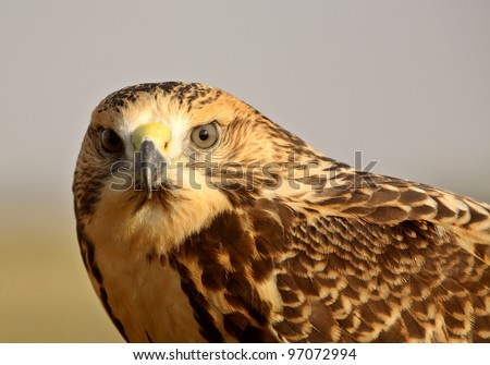 Close up of a young hawk in scenic Saskatchewan - stock photo