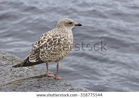 Close-up of a young lesser black-backed gull (Larus fuscus)