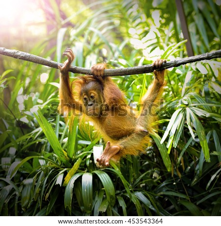 Close up of a young orangutan swinging in the park, selective focus. - stock photo