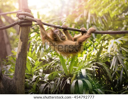 Close up of a young orangutan swinging in the park, selective focus.