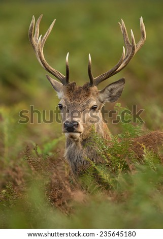 Close-up of a young red deer (Cervus elaphus)