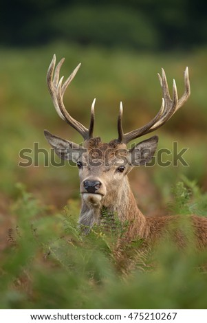 Close up of a young red deer stag