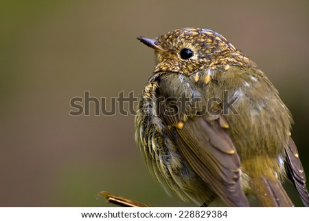 Close-up of a young Robin bird early in the morning - stock photo