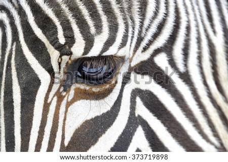 Close up of a zebra - stock photo