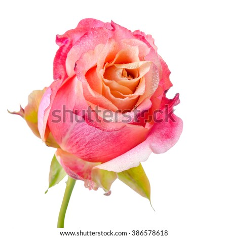 close up of abstract romantic beautiful pink and orange rose flower with dew is isolated on white background - stock photo