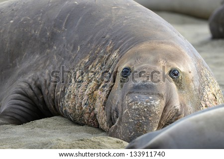 close up of adult elephant seal on beach showing scars from fighting for mating and territorial disputes and showing probiscis , big sur, california - stock photo
