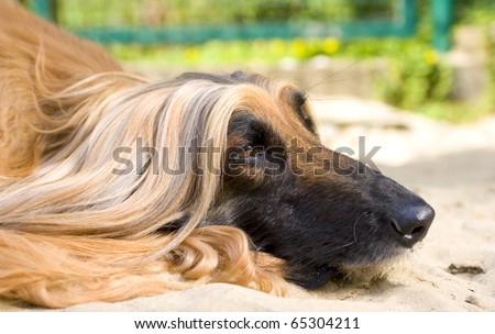 Close-up of Afghan Hound - stock photo
