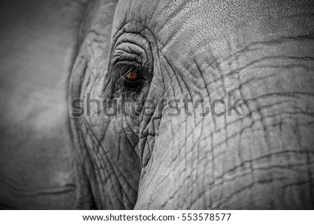 close up of African elephant eye