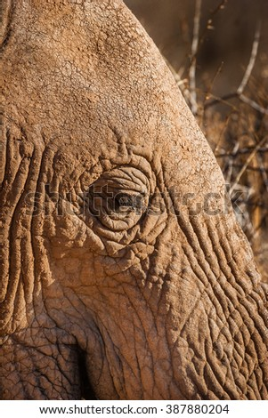 Close up of African Elephant head
