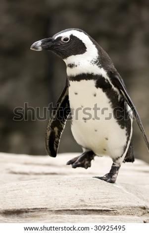 Close-up of African Penguin - Spheniscus demersus - stock photo
