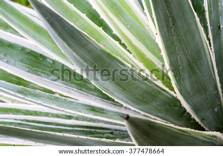 close up of   agave  plant - stock photo