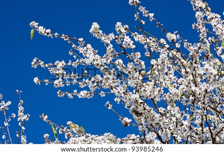 close up of almond tree flowers on blue sky