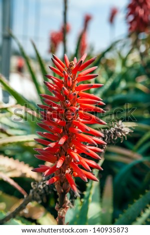 Close up of aloe vera red flower