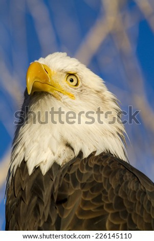 Close up of American bald eagle perched in tree with early morning light