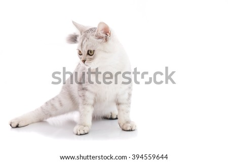 Close up of american shorthair cat sit and looking for something on the white background isolated. - stock photo