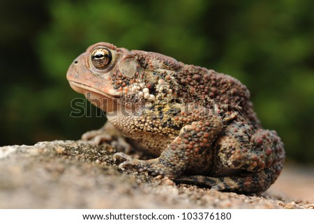 Close-up of American Toad on rock (Bufo americanus) - stock photo