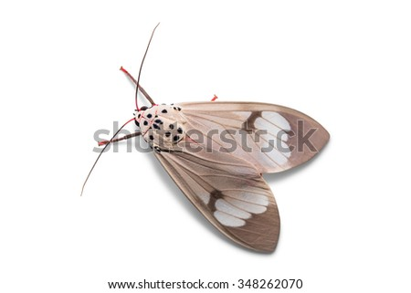 Close up of Amerila astreus moth, isolated on white background with clipping path - stock photo