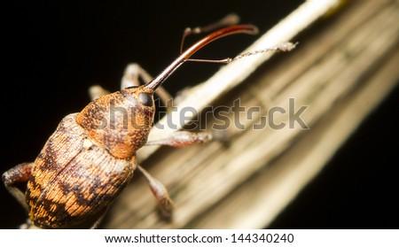 Close-up of an Acorn weevil (Curculio glandium) - stock photo