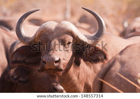 Close up of an African buffalo in the wild