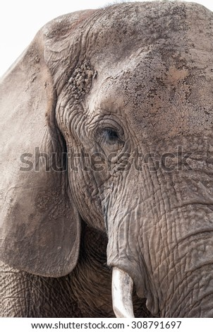 Close up of an African elephant in a game reserve in South Africa