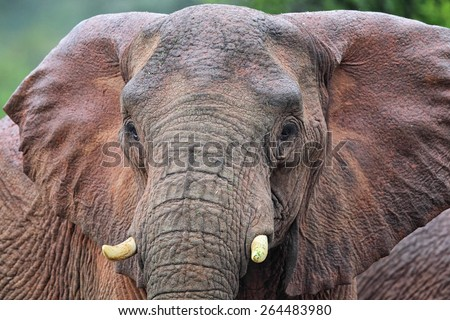 Close up of an African Elephant (Loxodonta africana) in the Amakhala Game Reserve, Eastern Cape, South Africa. - stock photo