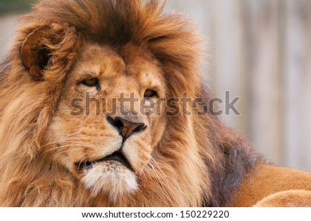 Close-up of an african lion - stock photo