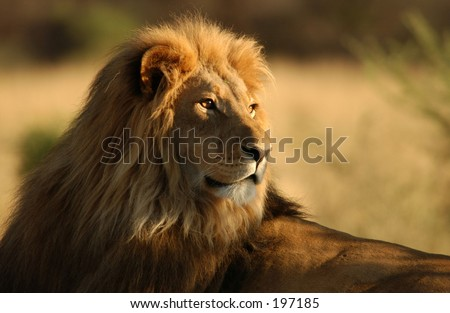 Close-up of an African lion, Namibia, Africa - stock photo