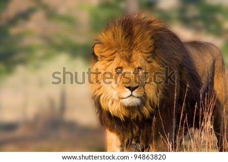 Close-up of an african lion - staring at the sunset
