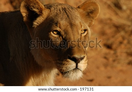 Close-up of an African lioness, Namibia, Africa - stock photo