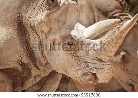 close up of an African white rhinoceros  (Ceratotherium simum) in a zoo.
