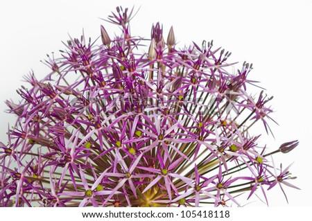 Close-up of an Allium Christophii - stock photo