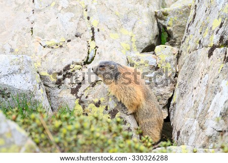Close up of an alpine marmot along a trekking path, italian alps, mountain panorama