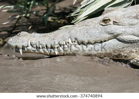 Close up of an American crocodile swimming in a river in Central America - stock photo