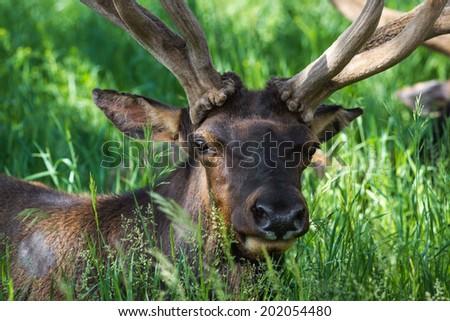 close up of an american elk in springtime still in velvet over green grass - stock photo