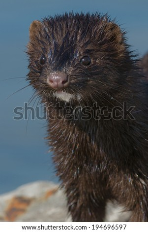 Close up of an American Mink.