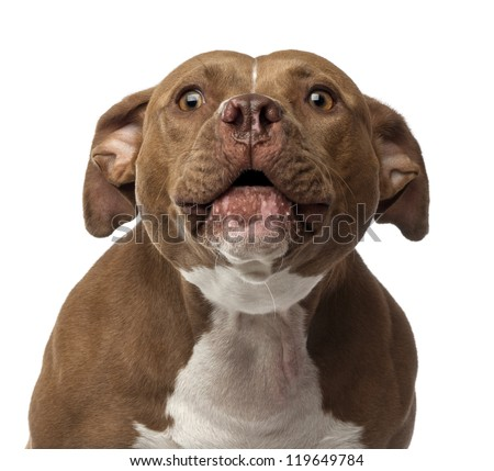 Close-up of an American Staffordshire Terrier barking against white background - stock photo